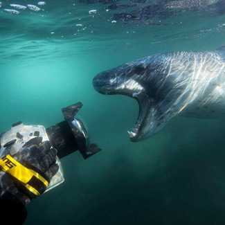 Leopard Seal Biting Camera