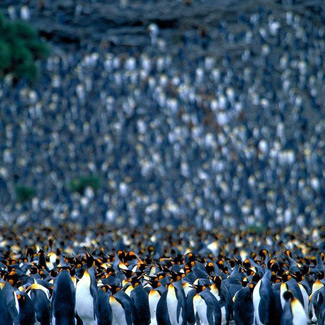 Colony of Emperor Penguins.