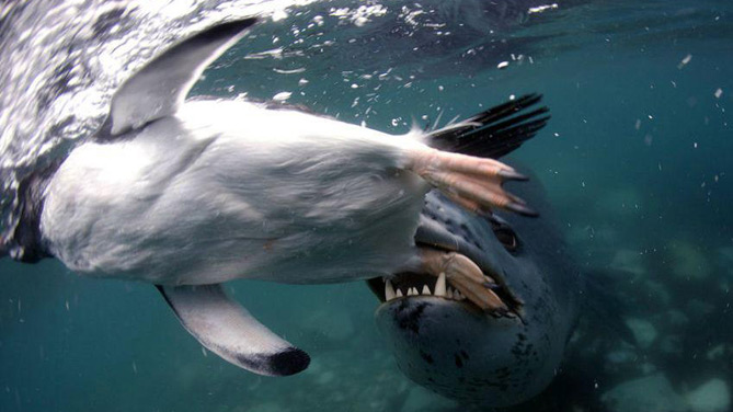 Leopard seal hanging on to an Emperor Penguin in the Antarctic.
