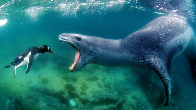 Diving with Leopard Seals in Antarctica