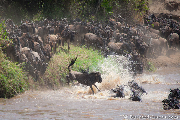 The highlight of the Great Wildebeest Migration is the Mara River crossing.