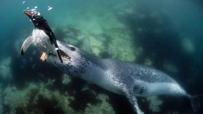 A leopard seal snagging a penguin.